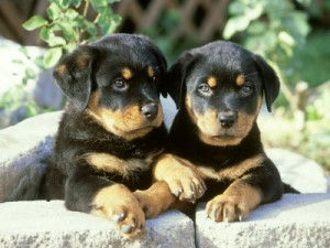 alan-carey-rottweiler-puppy-pair-relaxing